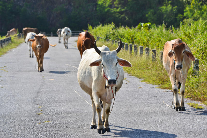 Download Flock Cows Walk On The Road Stock Image - Image: 28532087