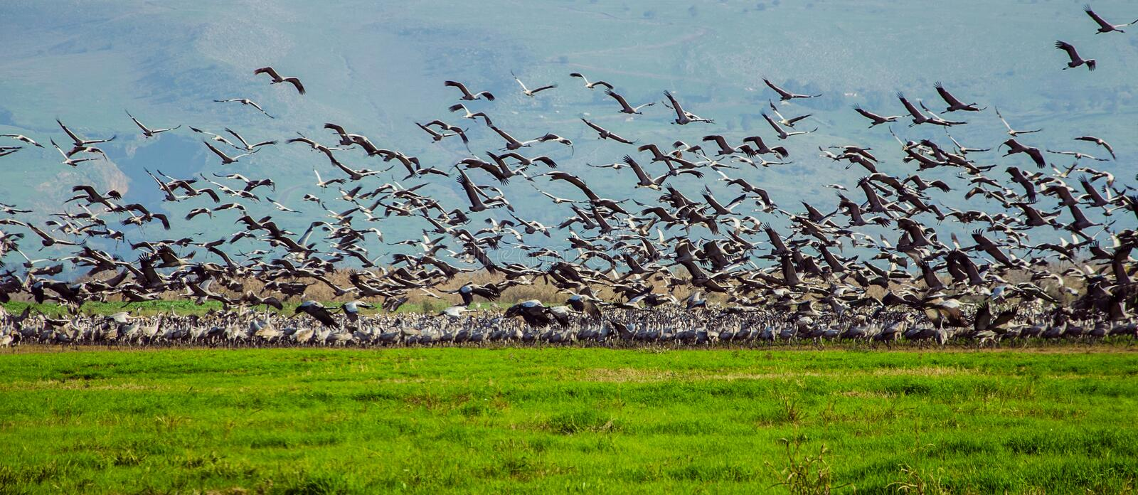Flock of cranes. Taking off in the field - Israel. Photo taken on: Dec, 2014 stock photos