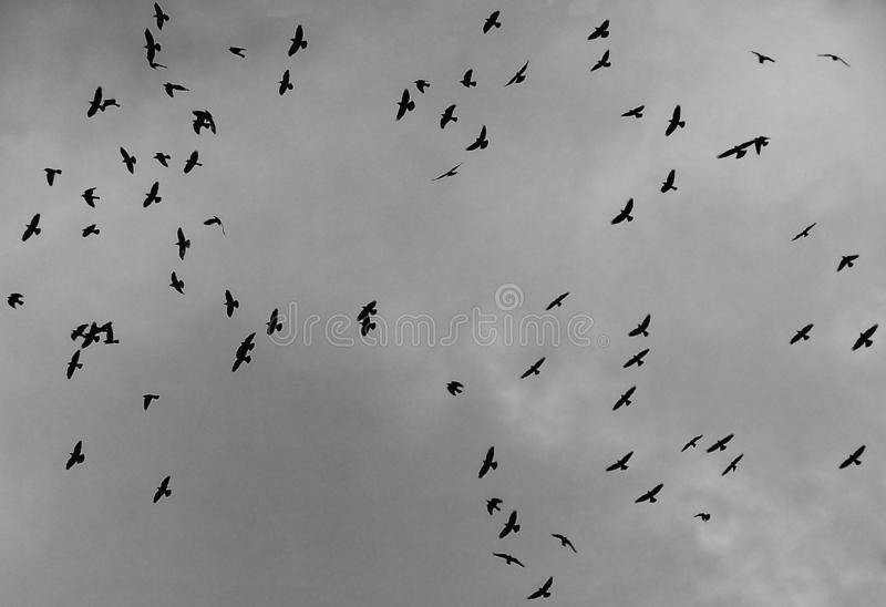 Flock of crows fly against dark grey clouds. A flock of crows fly against dark grey clouds flying flocks environment above gliding soar air wilderness bright royalty free stock images