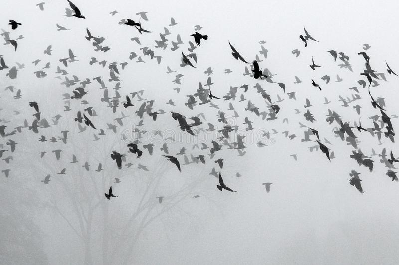 A flock of crows flying above the field. Into the mist during the gloomy day royalty free stock photos
