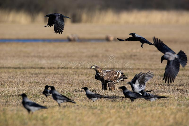 Flock of crows flying around white-tailed eagle sitting on the ground in winter stock image
