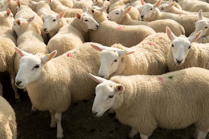 Flock Of Curious White Sheep With Cosy Wool In Scotland royalty free stock images