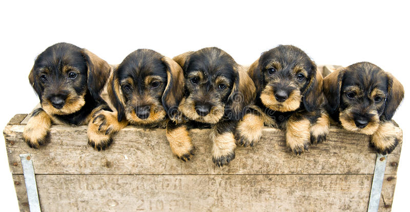 Flock of dachshund puppies. royalty free stock photography
