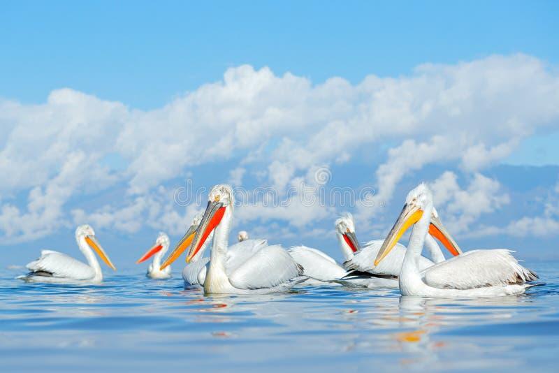 Flock Dalmatian pelican, Pelecanus crispus, in Lake Kerkini, Greece. Palican with open wing, hunting animal. Wildlife scene from E royalty free stock photography