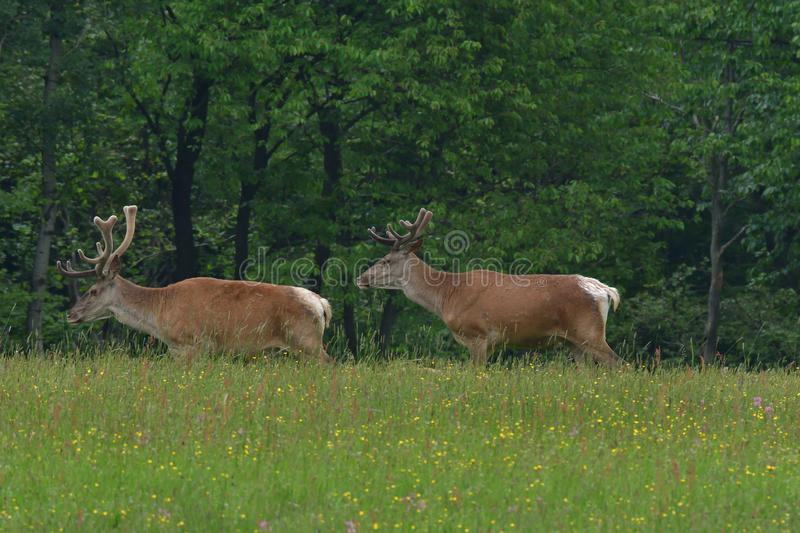Flock of Deer stag  with growing antler grazing the grass royalty free stock images