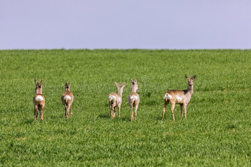 A Flock of deer with summer grazing on green grass. Field stock photos