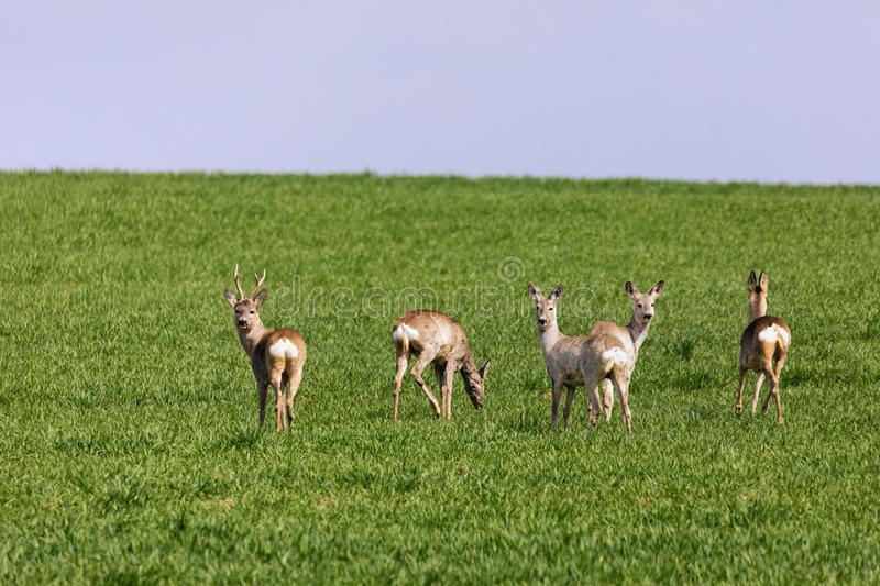 A Flock of deer with summer grazing on green grass. Field royalty free stock photos