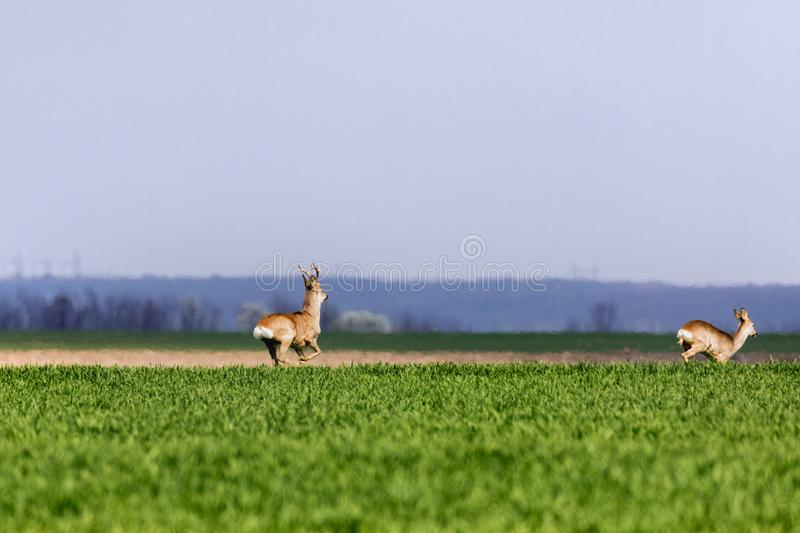 A Flock of deer with summer grazing on green grass. Field royalty free stock images