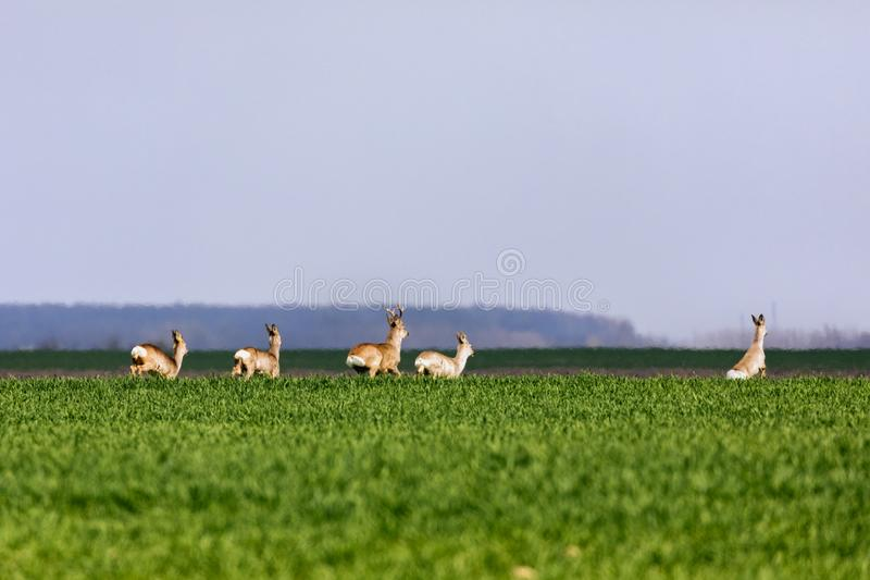 A Flock of deer with summer grazing on green grass. Field royalty free stock photography