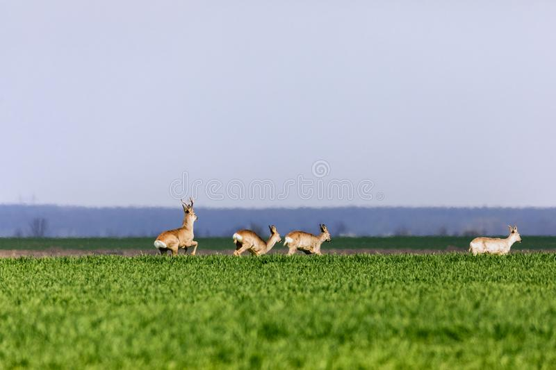 A Flock of deer with summer grazing on green grass. Field royalty free stock photo