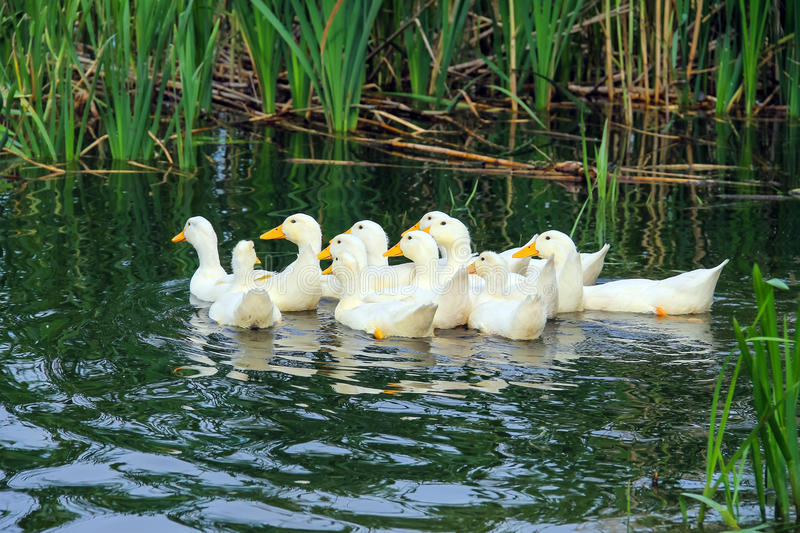 Flock of domestic ducks swimming in the backwaters. Ukraine royalty free stock photography