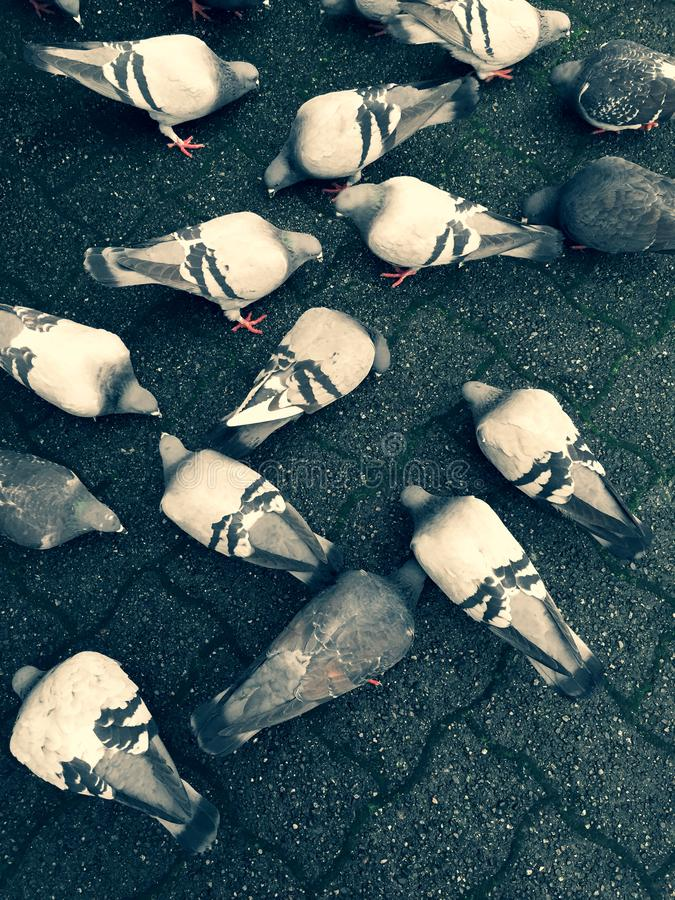 Pigeons feeding on the ground feeding over on top of city paving stones. stock photos