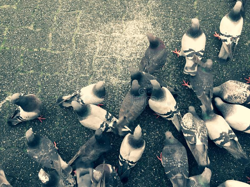 Pigeons feeding on the ground feeding over on top of city paving stones. royalty free stock images