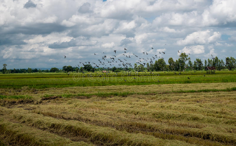 A flock of dove and mynas in rice field. Beautiful refreshing blue sky cloud cloudy landscape background stock photos