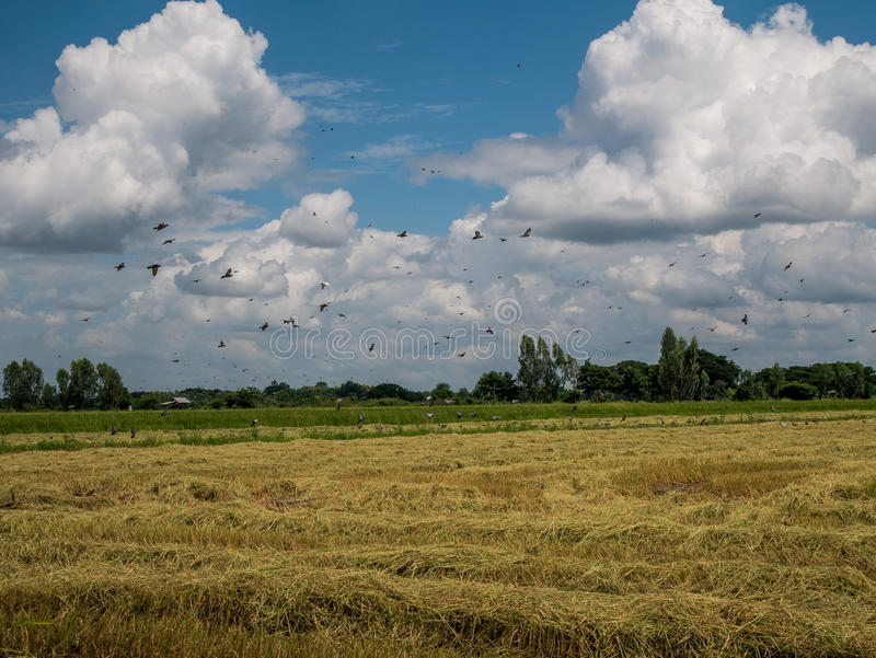 A flock of dove and mynas in rice field with blue sky. Thailand royalty free stock image