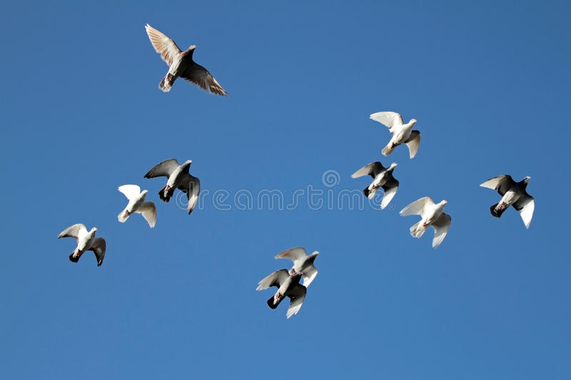 Download Flock of pigeins stock image. Image of white, free, team - 24023415