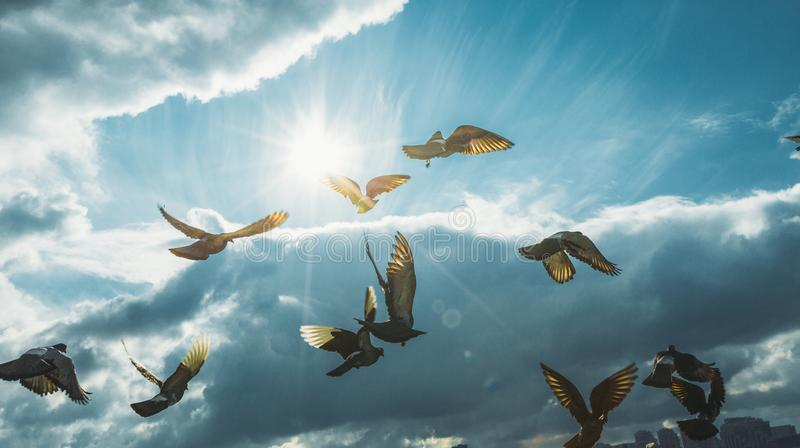 Flock Of Doves Flying In Blue Sky In-Front Of The Sun. Freedom Peace. Flock Of Doves Flying In Blue Sky In-Front Of The Sun In Clouds. Freedom Peace stock photography