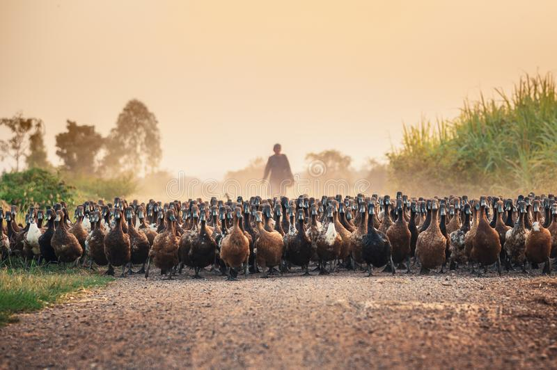 Flock of ducks with agriculturist herding on dirt road royalty free stock photo