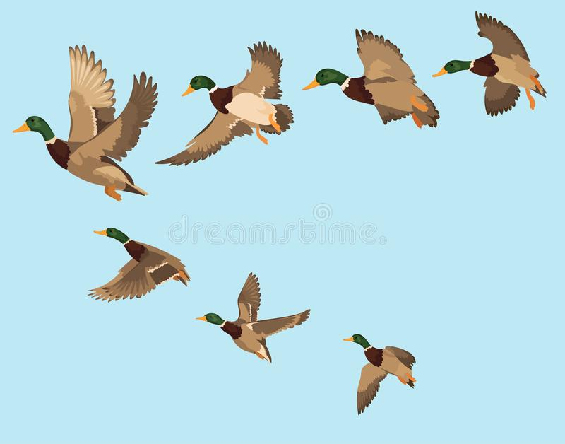 A flock of ducks. A cartoon flock of birds. Vector illustration of flying birds. Drawing for children. A flock of ducks. A cartoon flock of birds. Vector vector illustration