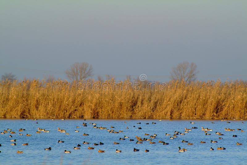 Flock of ducks feeds at sunset, Po delta royalty free stock images