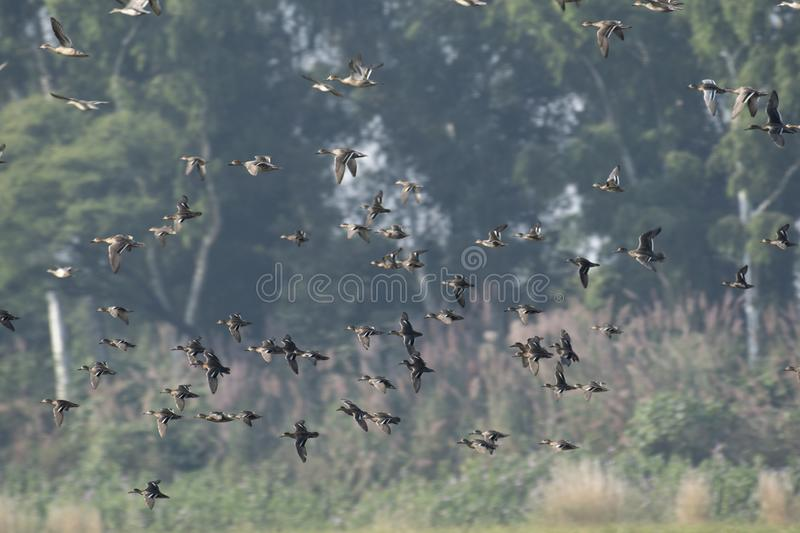 Flock of ducks flying royalty free stock photography