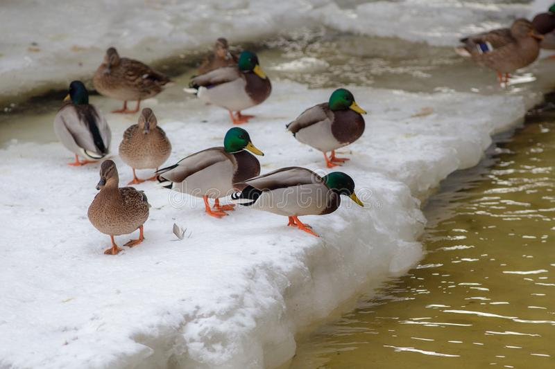 Flock of ducks on a ice floe. Flock of ducks on a melting ice floe in winter royalty free stock image