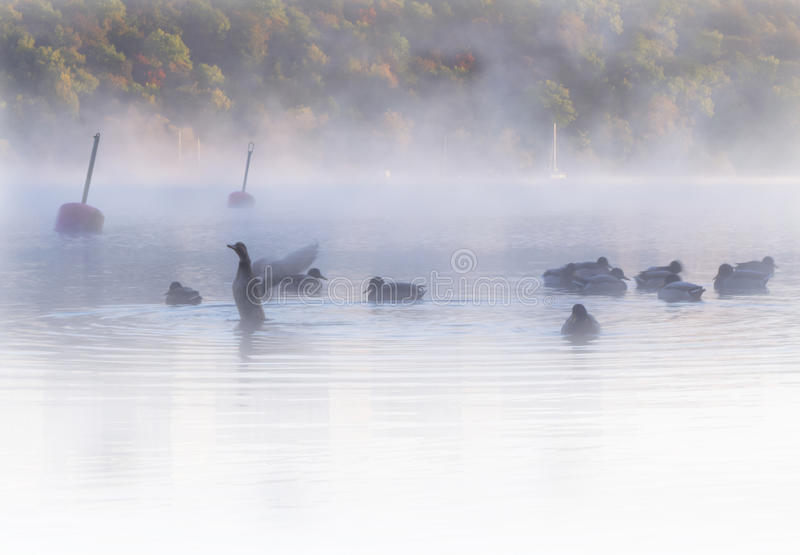 Flock of ducks in misty, dreamlike waters early dawn. Colorful autumn forest in background. Flock of ducks in misty, dreamlike waters early dawn. One flapping