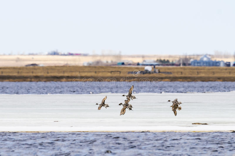 Flock of Ducks royalty free stock images