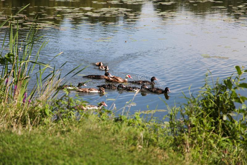 Flock of ducks swims in river. Near  shore. opy space royalty free stock photos