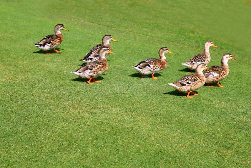 Flock Of Ducks Walking In Garden Green Grass Royalty Free Stock Image