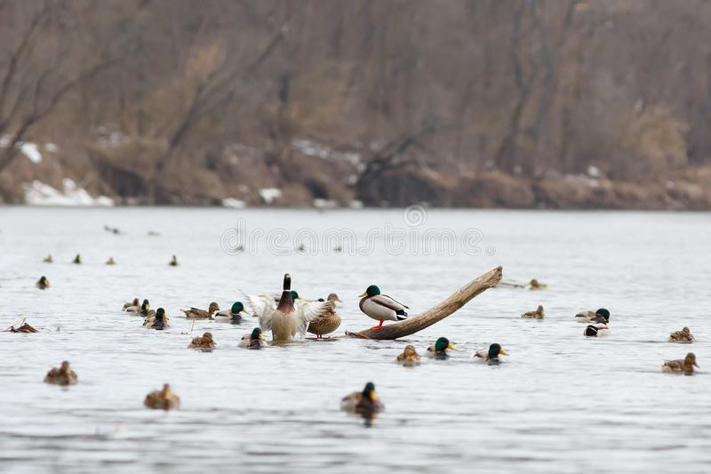 A flock of ducks on the water of the river in early spring. Mallard during migration.  stock photo