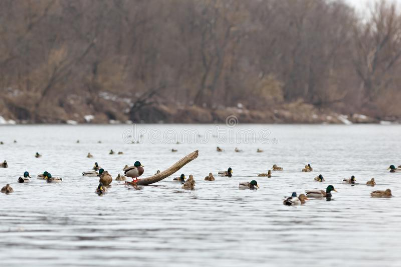 A flock of ducks on the water of the river in early spring. Mallard during migration.  stock image