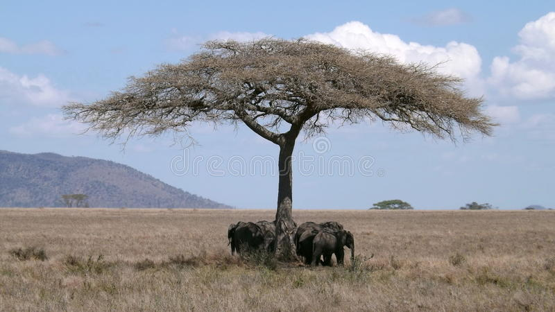 Flock of elephants under the tree shade royalty free stock photos