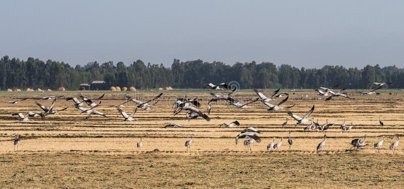 A flock of ethiopian cranes in flight. Seen in Bahir Dar, Ethiopia. A flock of ethiopian common cranes in flight. Seen in Bahir Dar, Ethiopia stock photography