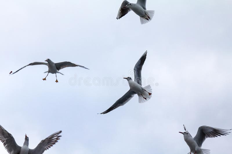 Flock of European seagulls flying with a grey sky in background. These specy of gulls is from Laridae family. Picture of a flock of 5 European seagulls flying royalty free stock photo