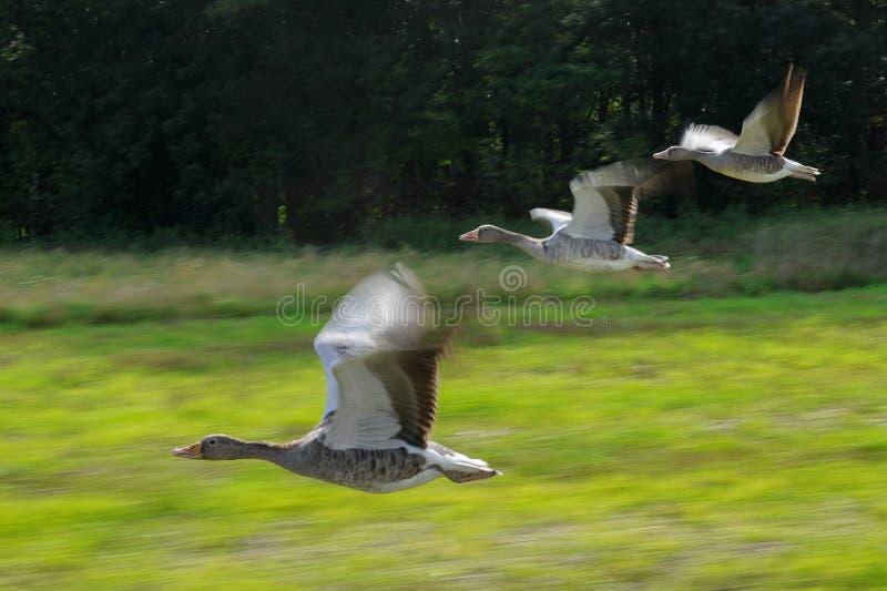 Flock för grågåsgås i flygrörelse arkivbilder