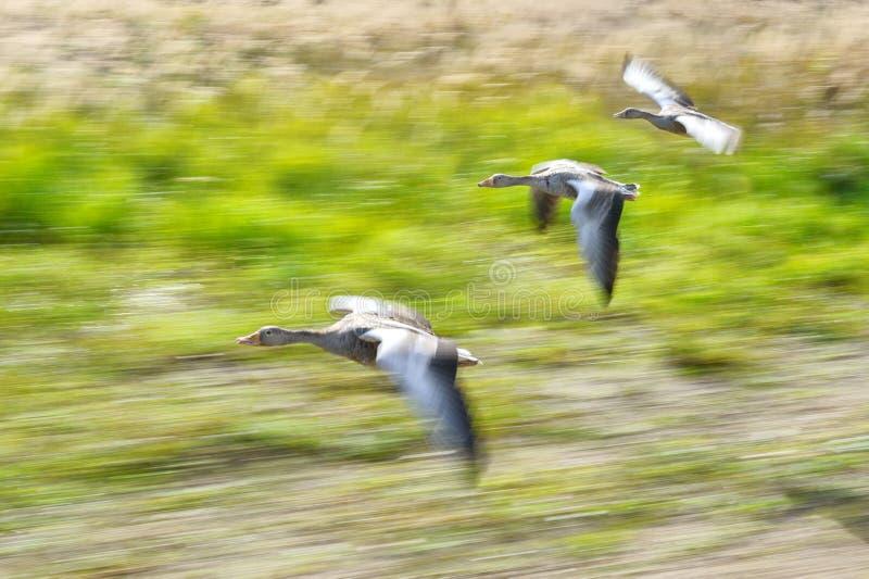 Flock för grågåsgås i flygrörelse arkivbild