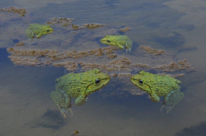 Flock för grön groda i klart vatten i dammet arkivbilder