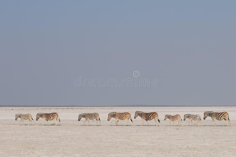 Flock för sebra för Burchell ` s i en salt panna, etoshanationalpark, Namibia royaltyfria foton