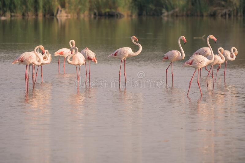 Flock of Flamingos in The Carmargue. A flock or flamboyance of flamingos at sunset in The Camargue in the French region of Cote D`Azur royalty free stock images