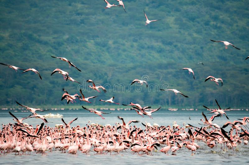 Flock of Flamingo Standing on Body of Water over Viewing Trees royalty free stock photo