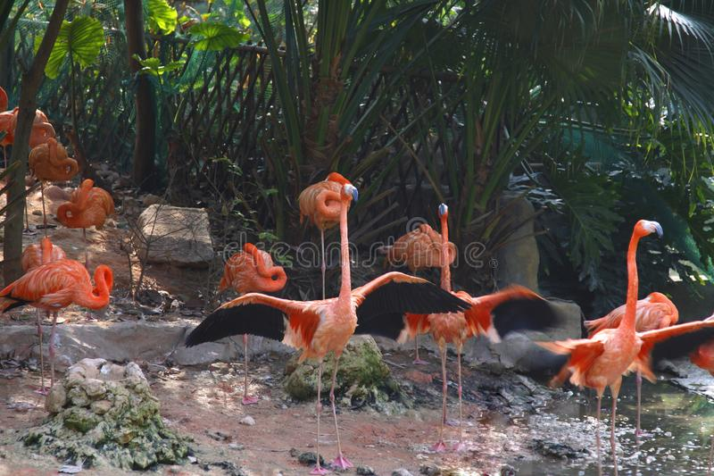 A flock of flamingo standing,and resting along the bank of lake in park. stock photo