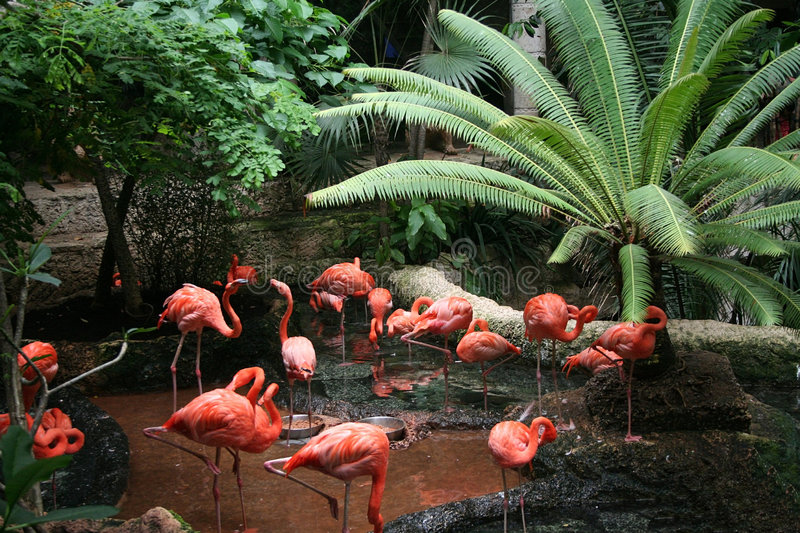 Flock of Flamingos. A flock of flamingos rest and eat in a tropical setting at the Dallas World Aquarium in Dallas, Texas stock images