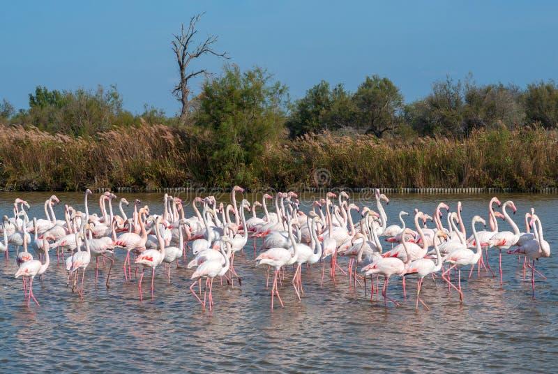 Flock of Flamingos, Camargue, France stock image