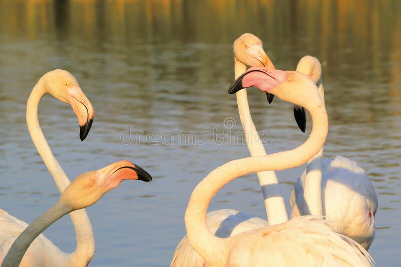 Flock of flamingos fighting in Camargue, France royalty free stock image