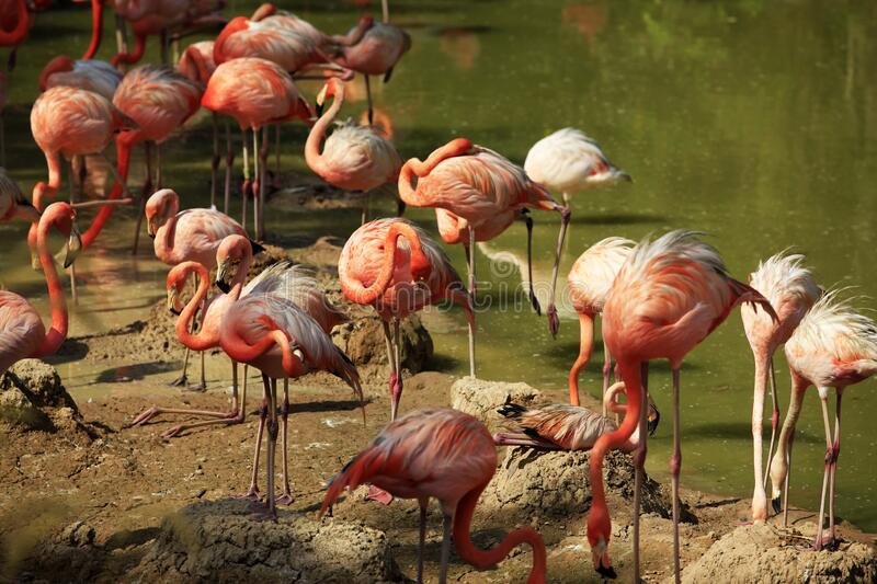 Flock of flamingos in water stock photography