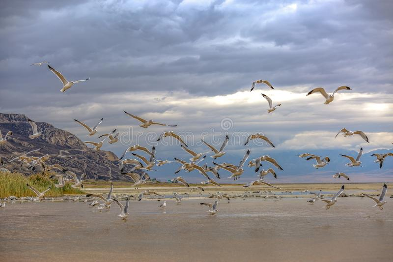 Flock of flying birds against a cloud covered sky. Flock of birds flying against a cloud covered sky in the Great Salt Lake in Utah with shallow water, sandy stock photo