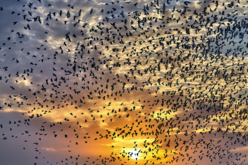 Flock of flying birds. In sunset royalty free stock photos