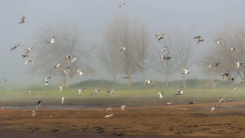 Flock of flying pigeons. Bird watching in Nature Reserve, Hula Valley in Israel. Nature landscape. Flock of flying pigeons. Bird watching in Nature Reserve, Hula royalty free stock photo