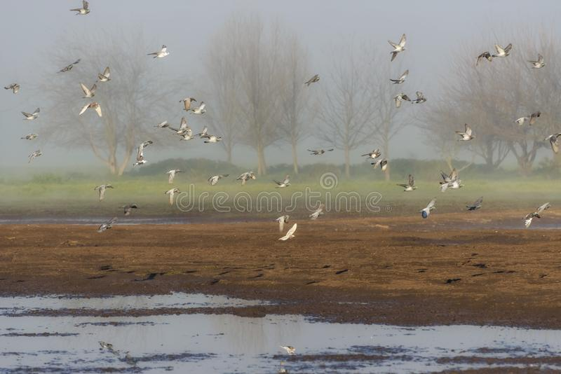 Flock of flying pigeons in Hula Valley in Israel. Bird watching in Nature Reserve. Nature landscape. Flock of flying pigeons in Hula Valley in northern Israel stock images